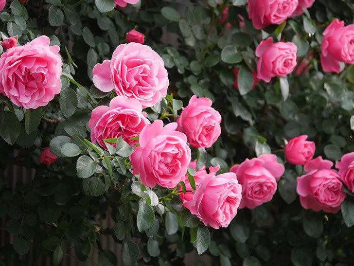 レオナルド・ダ・ヴィンチ(Leonard da Vinci)の花がたくさん咲いた。半ツルバラ。2021年-071.jpg