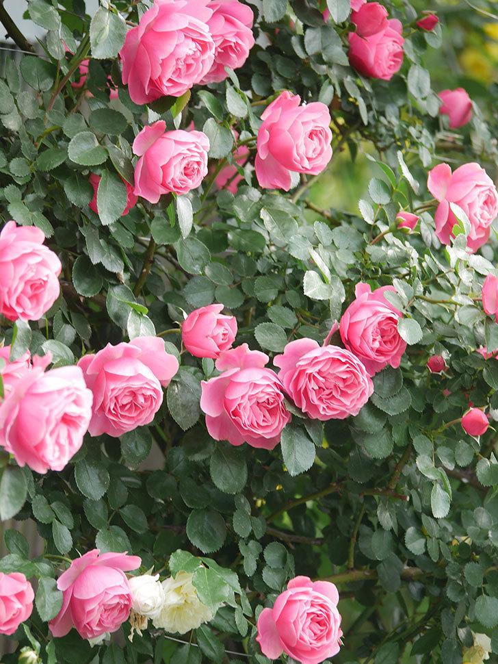 レオナルド・ダ・ヴィンチ(Leonard da Vinci)の花がたくさん咲いた。半ツルバラ。2021年-072.jpg