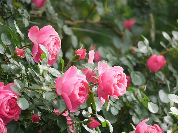 レオナルド・ダ・ヴィンチ(Leonard da Vinci)の花がたくさん咲いた。半ツルバラ。2021年-074.jpg