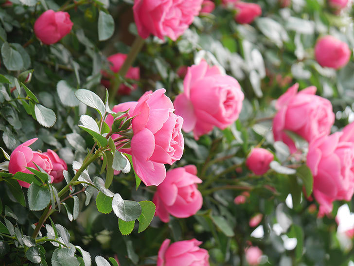 レオナルド・ダ・ヴィンチ(Leonard da Vinci)の花がたくさん咲いた。半ツルバラ。2021年-075.jpg
