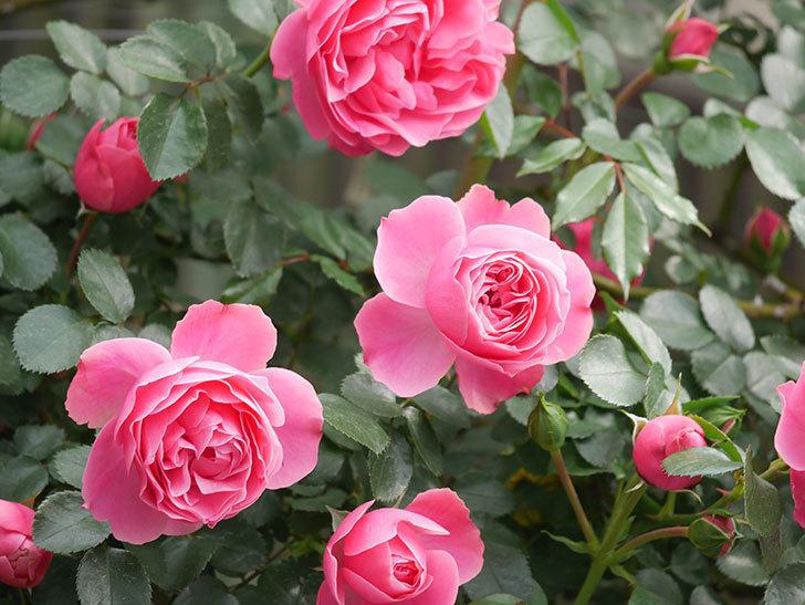 レオナルド・ダ・ヴィンチ(Leonard da Vinci)の花がたくさん咲いた。半ツルバラ。2021年-076.jpg