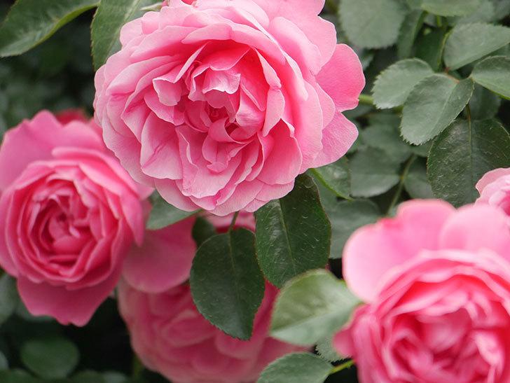 レオナルド・ダ・ヴィンチ(Leonard da Vinci)の花がたくさん咲いた。半ツルバラ。2021年-077.jpg