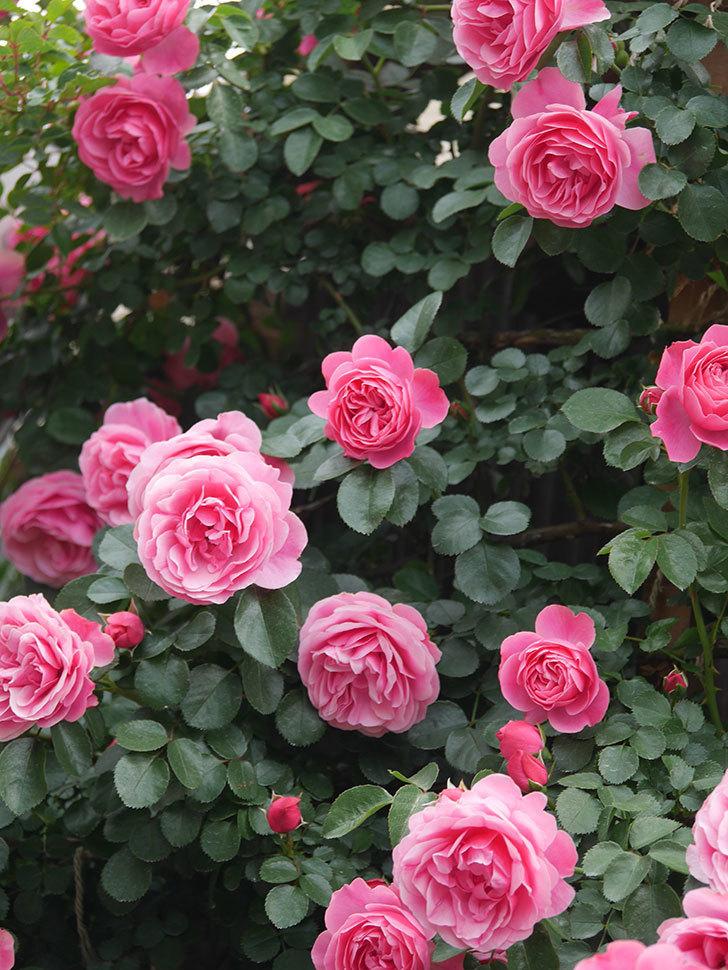 レオナルド・ダ・ヴィンチ(Leonard da Vinci)の花がたくさん咲いた。半ツルバラ。2021年-078.jpg