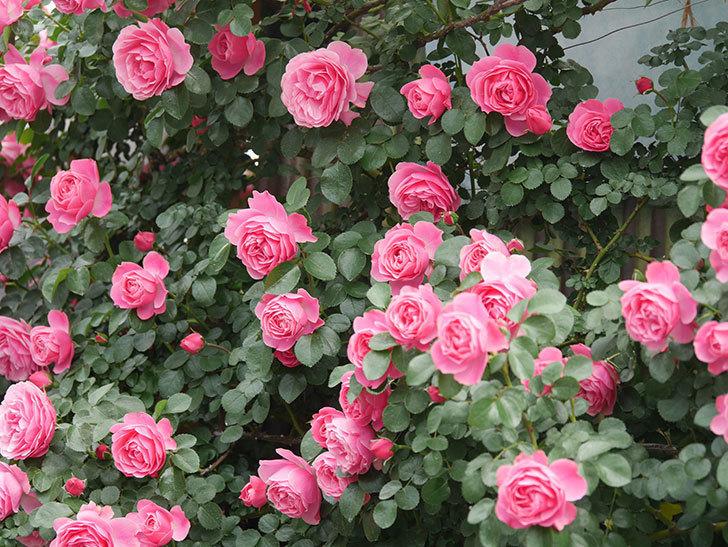 レオナルド・ダ・ヴィンチ(Leonard da Vinci)の花がたくさん咲いた。半ツルバラ。2021年-079.jpg