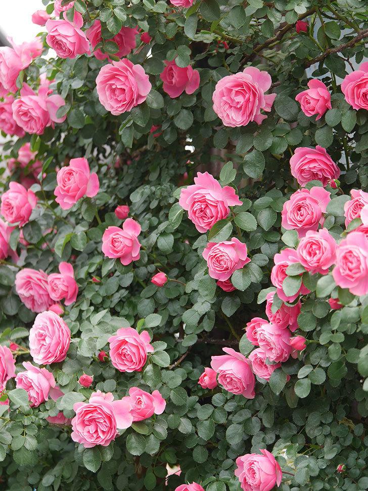 レオナルド・ダ・ヴィンチ(Leonard da Vinci)の花がたくさん咲いた。半ツルバラ。2021年-080.jpg