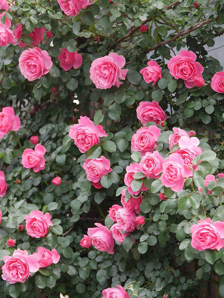 レオナルド・ダ・ヴィンチ(Leonard da Vinci)の花がたくさん咲いた。半ツルバラ。2021年-081.jpg