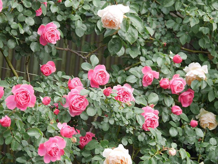 レオナルド・ダ・ヴィンチ(Leonard da Vinci)の花がたくさん咲いた。半ツルバラ。2021年-082.jpg