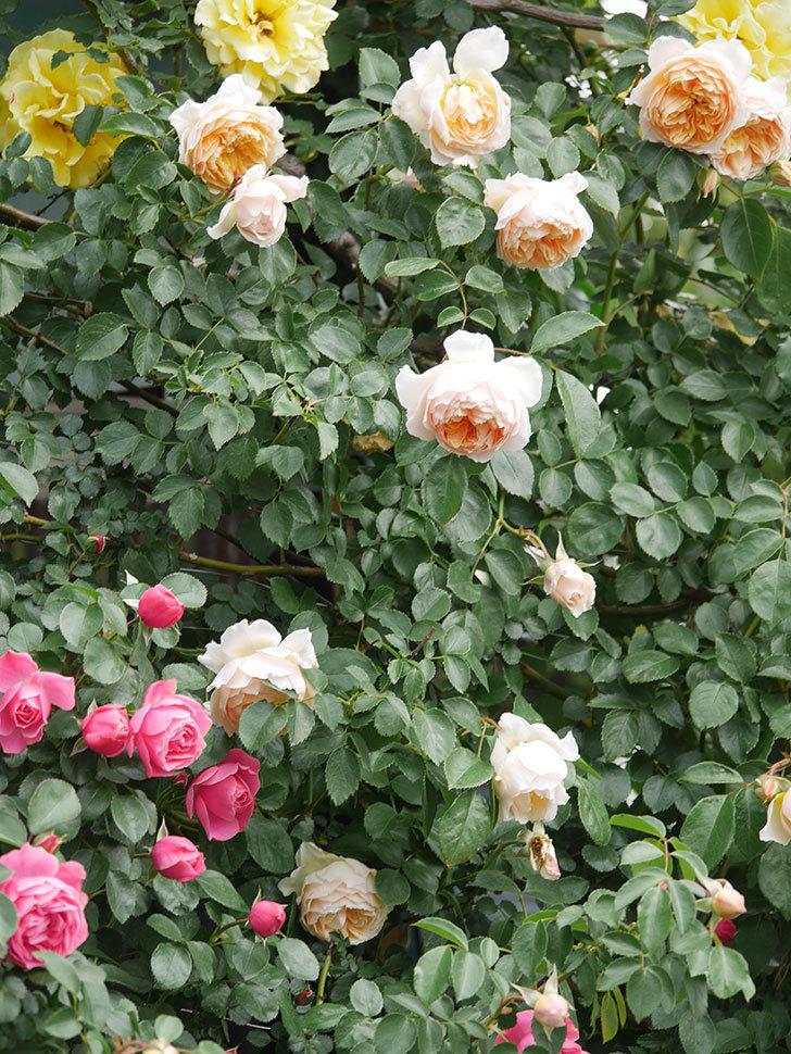 レオナルド・ダ・ヴィンチ(Leonard da Vinci)の花がたくさん咲いた。半ツルバラ。2021年-083.jpg