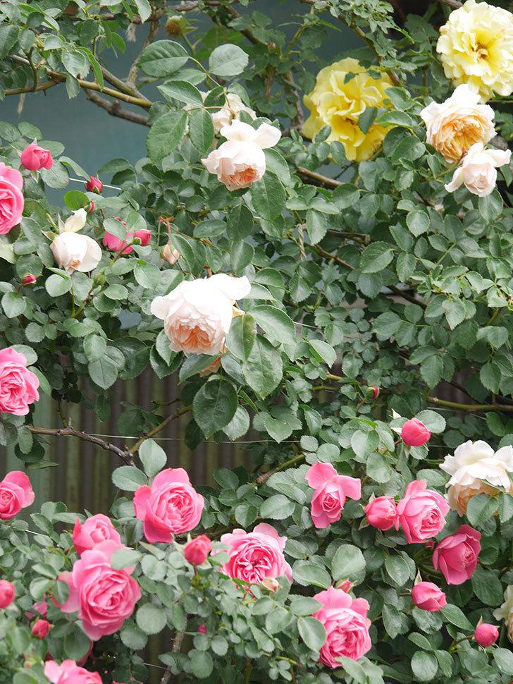 レオナルド・ダ・ヴィンチ(Leonard da Vinci)の花がたくさん咲いた。半ツルバラ。2021年-084.jpg