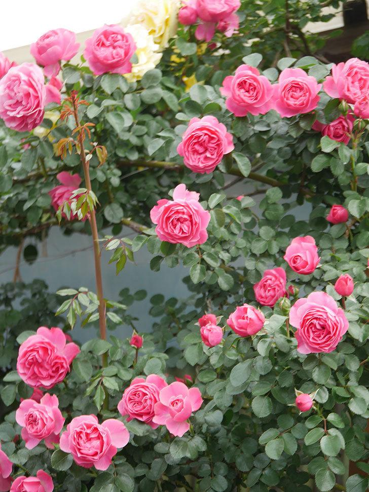 レオナルド・ダ・ヴィンチ(Leonard da Vinci)の花がたくさん咲いた。半ツルバラ。2021年-086.jpg