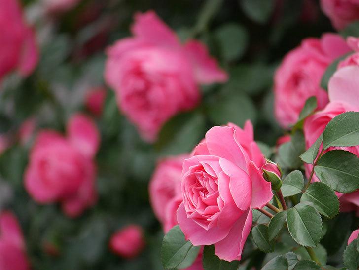 レオナルド・ダ・ヴィンチ(Leonard da Vinci)の花がたくさん咲いた。半ツルバラ。2021年-087.jpg