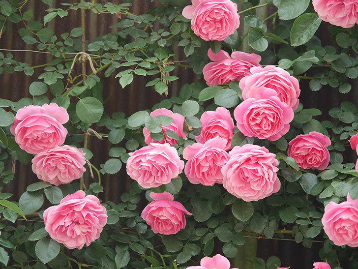 レオナルド・ダ・ヴィンチ(Leonard da Vinci)の花がたくさん咲いた。半ツルバラ。2021年-088.jpg