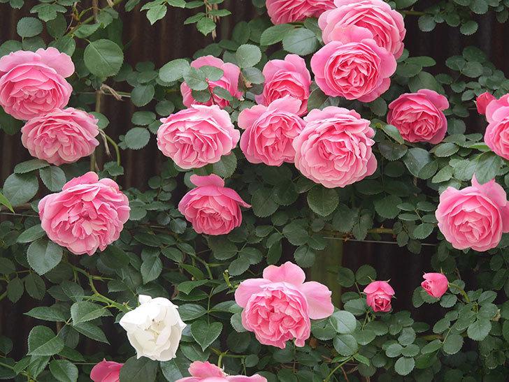 レオナルド・ダ・ヴィンチ(Leonard da Vinci)の花がたくさん咲いた。半ツルバラ。2021年-089.jpg