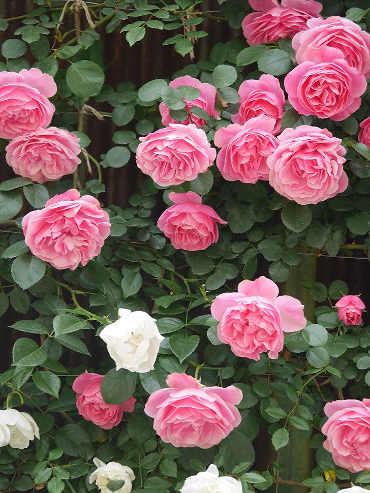 レオナルド・ダ・ヴィンチ(Leonard da Vinci)の花がたくさん咲いた。半ツルバラ。2021年-090.jpg