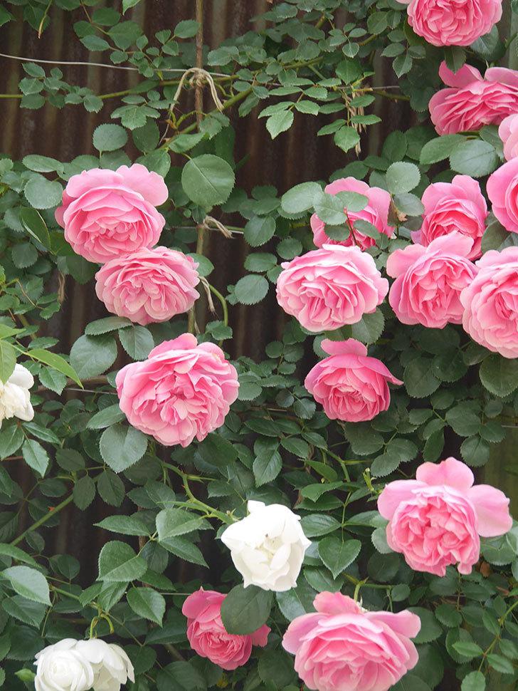 レオナルド・ダ・ヴィンチ(Leonard da Vinci)の花がたくさん咲いた。半ツルバラ。2021年-091.jpg