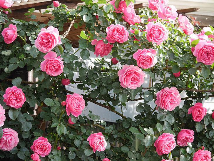 レオナルド・ダ・ヴィンチ(Leonard da Vinci)の花がたくさん咲いた。半ツルバラ。2021年-092.jpg
