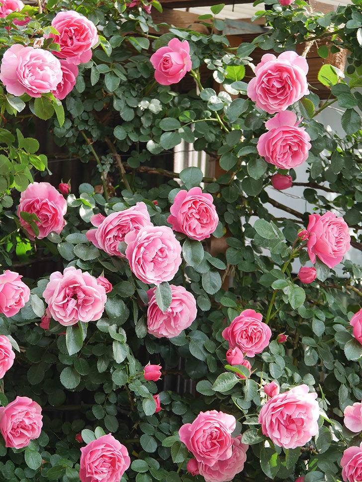 レオナルド・ダ・ヴィンチ(Leonard da Vinci)の花がたくさん咲いた。半ツルバラ。2021年-093.jpg