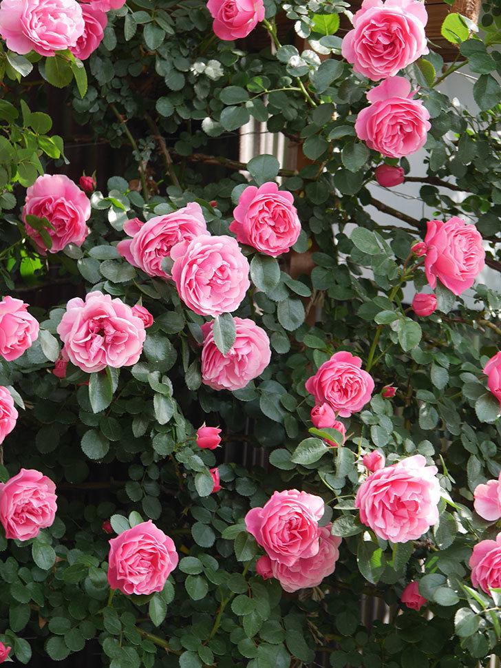 レオナルド・ダ・ヴィンチ(Leonard da Vinci)の花がたくさん咲いた。半ツルバラ。2021年-094.jpg