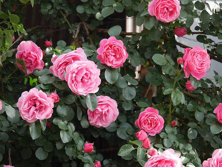 レオナルド・ダ・ヴィンチ(Leonard da Vinci)の花がたくさん咲いた。半ツルバラ。2021年-095.jpg