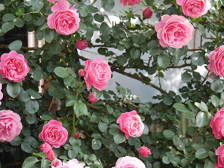 レオナルド・ダ・ヴィンチ(Leonard da Vinci)の花がたくさん咲いた。半ツルバラ。2021年-096.jpg