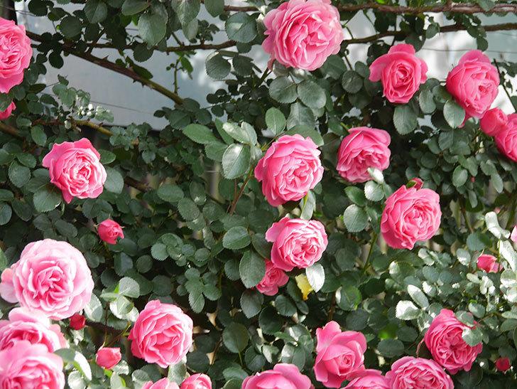レオナルド・ダ・ヴィンチ(Leonard da Vinci)の花がたくさん咲いた。半ツルバラ。2021年-097.jpg
