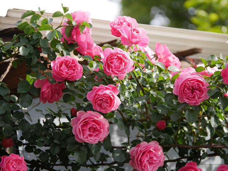 レオナルド・ダ・ヴィンチ(Leonard da Vinci)の花がたくさん咲いた。半ツルバラ。2021年-098.jpg