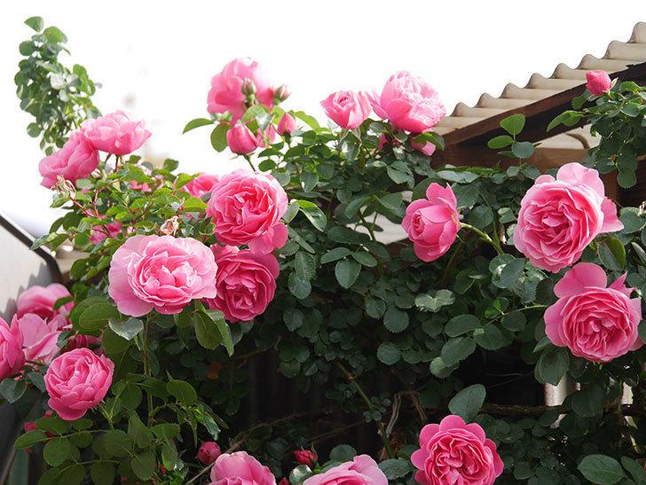 レオナルド・ダ・ヴィンチ(Leonard da Vinci)の花がたくさん咲いた。半ツルバラ。2021年-099.jpg