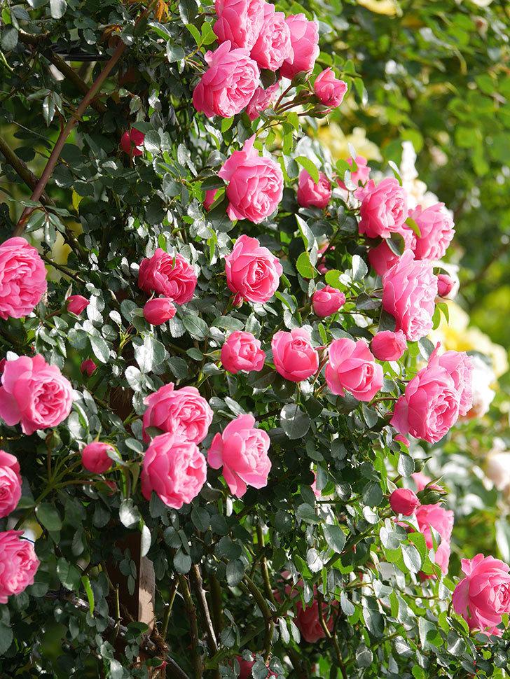 レオナルド・ダ・ヴィンチ(Leonard da Vinci)の花がたくさん咲いた。半ツルバラ。2021年-100.jpg