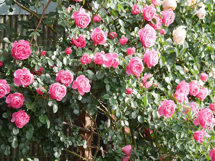 レオナルド・ダ・ヴィンチ(Leonard da Vinci)の花がたくさん咲いた。半ツルバラ。2021年-101.jpg