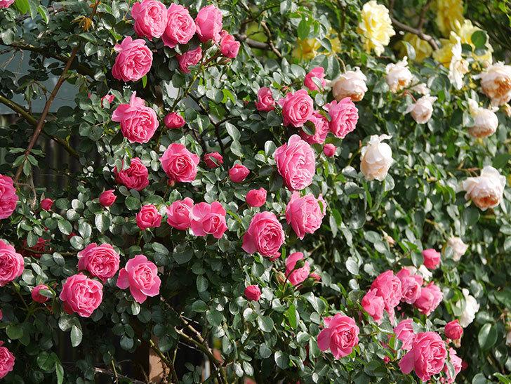 レオナルド・ダ・ヴィンチ(Leonard da Vinci)の花がたくさん咲いた。半ツルバラ。2021年-102.jpg