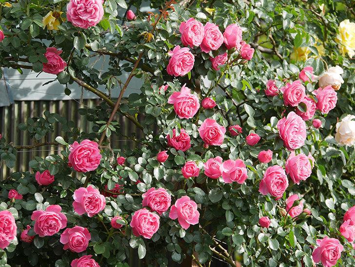 レオナルド・ダ・ヴィンチ(Leonard da Vinci)の花がたくさん咲いた。半ツルバラ。2021年-103.jpg