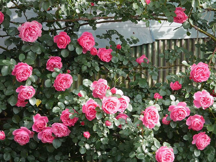 レオナルド・ダ・ヴィンチ(Leonard da Vinci)の花がたくさん咲いた。半ツルバラ。2021年-104.jpg