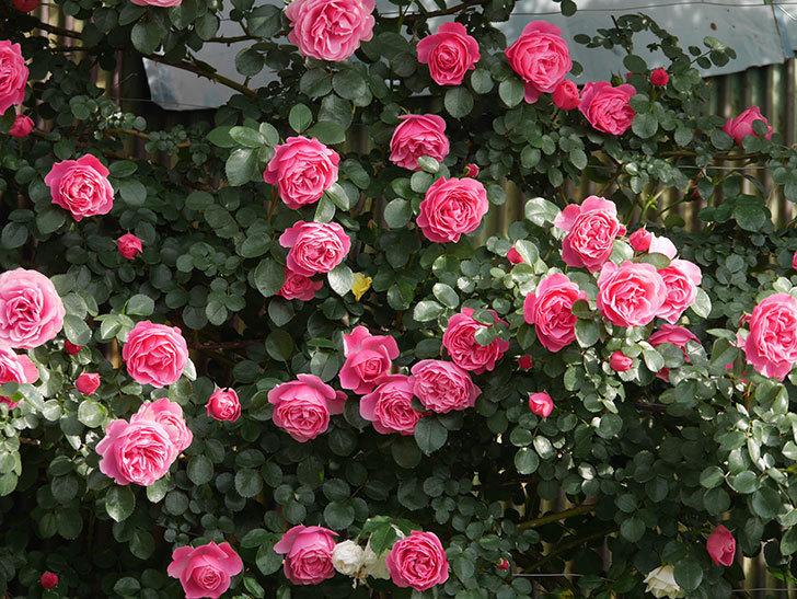 レオナルド・ダ・ヴィンチ(Leonard da Vinci)の花がたくさん咲いた。半ツルバラ。2021年-105.jpg