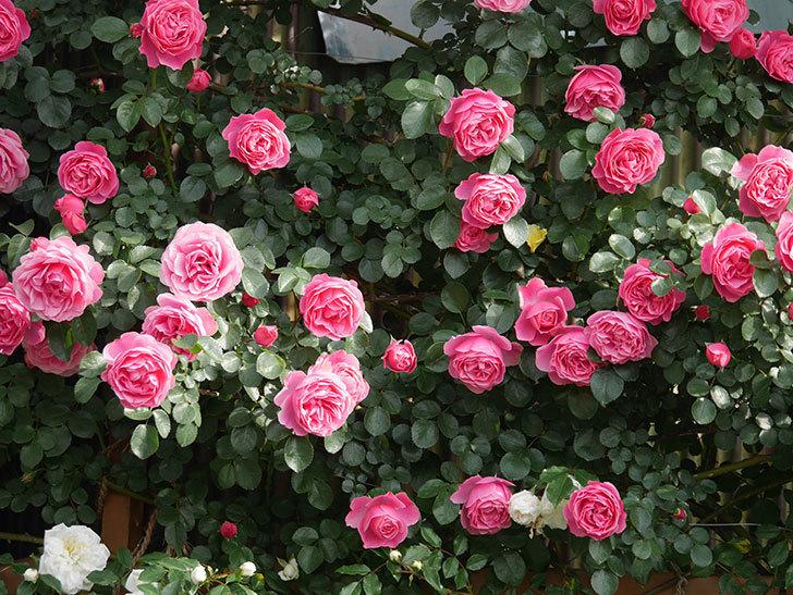 レオナルド・ダ・ヴィンチ(Leonard da Vinci)の花がたくさん咲いた。半ツルバラ。2021年-106.jpg