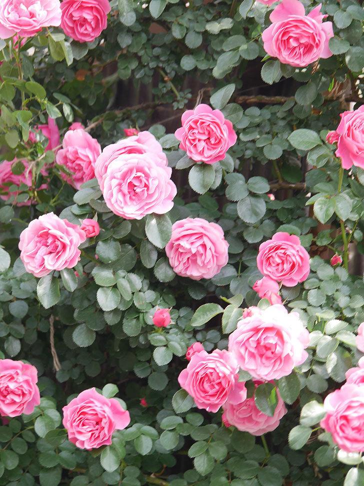 レオナルド・ダ・ヴィンチ(Leonard da Vinci)の花がたくさん咲いた。半ツルバラ。2021年-108.jpg