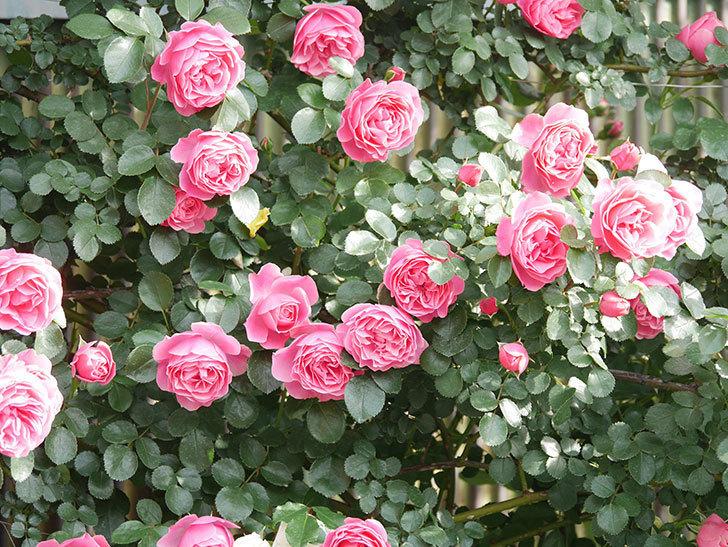 レオナルド・ダ・ヴィンチ(Leonard da Vinci)の花がたくさん咲いた。半ツルバラ。2021年-109.jpg