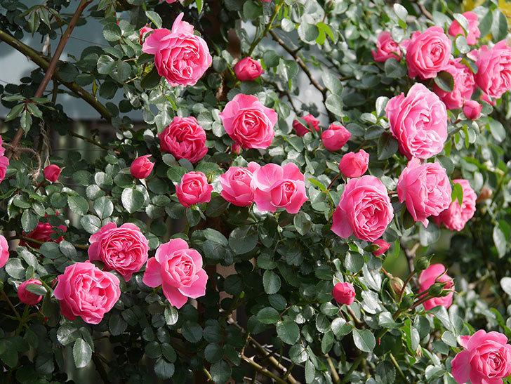 レオナルド・ダ・ヴィンチ(Leonard da Vinci)の花がたくさん咲いた。半ツルバラ。2021年-111.jpg