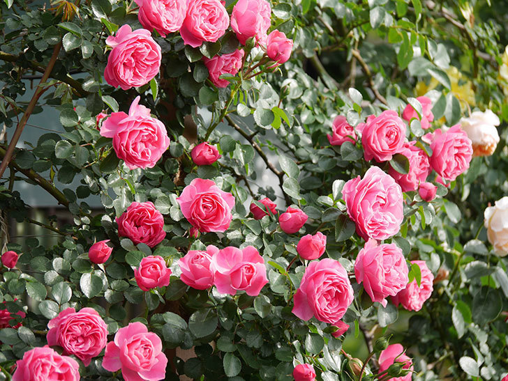 レオナルド・ダ・ヴィンチ(Leonard da Vinci)の花がたくさん咲いた。半ツルバラ。2021年-112.jpg