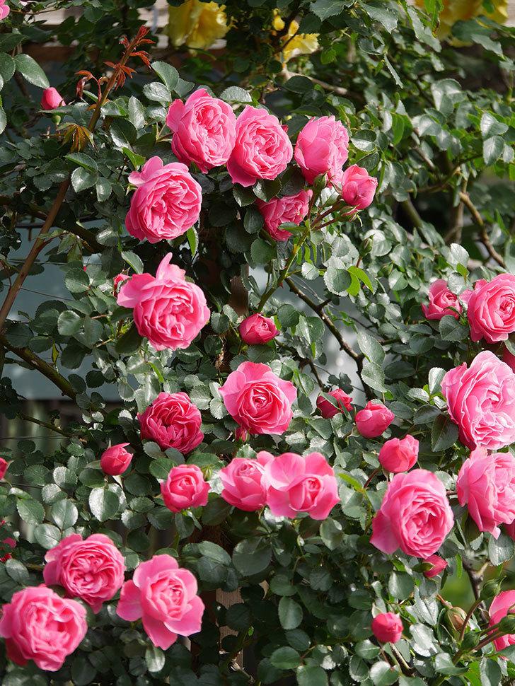レオナルド・ダ・ヴィンチ(Leonard da Vinci)の花がたくさん咲いた。半ツルバラ。2021年-113.jpg