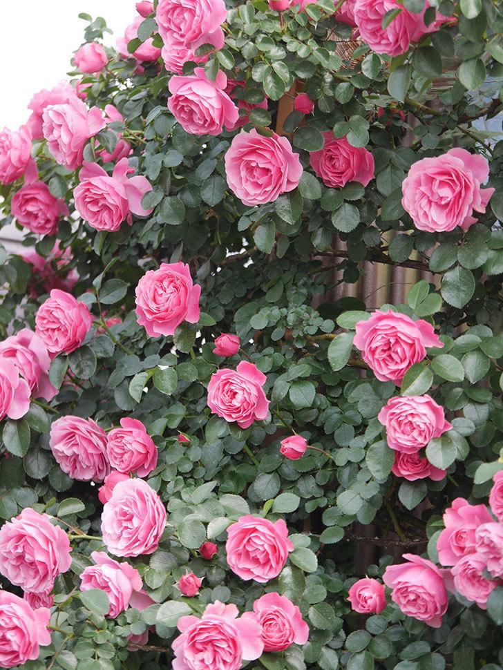 レオナルド・ダ・ヴィンチ(Leonard da Vinci)の花がたくさん咲いた。半ツルバラ。2021年-115.jpg