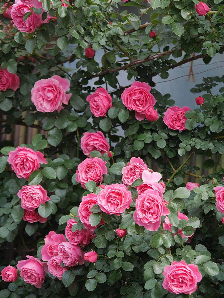 レオナルド・ダ・ヴィンチ(Leonard da Vinci)の花がたくさん咲いた。半ツルバラ。2021年-116.jpg