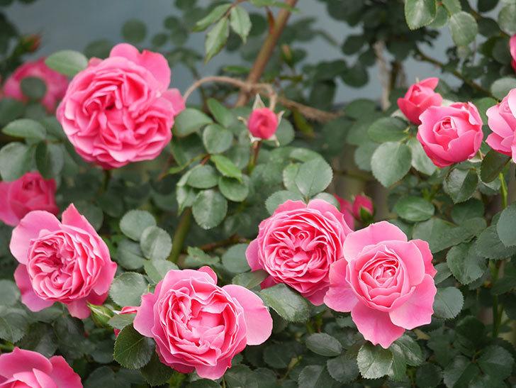 レオナルド・ダ・ヴィンチ(Leonard da Vinci)の花がたくさん咲いた。半ツルバラ。2021年-117.jpg