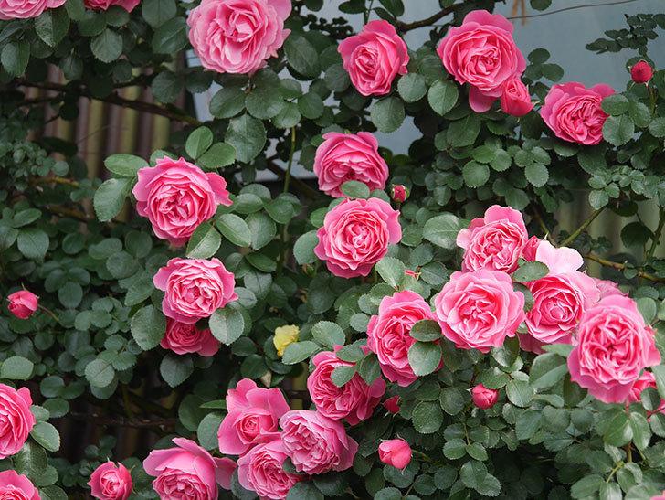 レオナルド・ダ・ヴィンチ(Leonard da Vinci)の花がたくさん咲いた。半ツルバラ。2021年-118.jpg