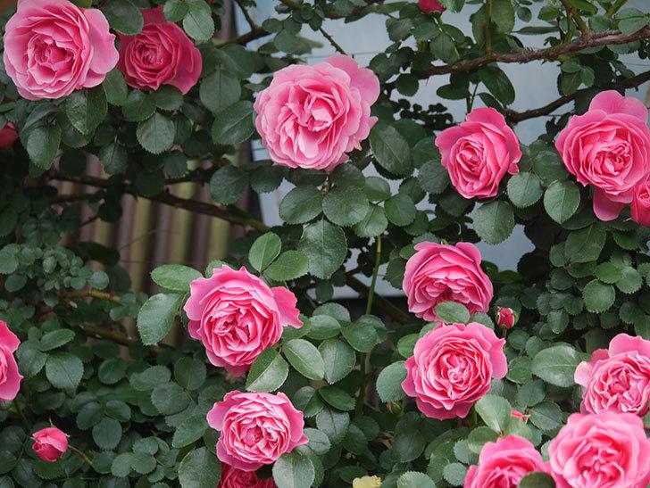 レオナルド・ダ・ヴィンチ(Leonard da Vinci)の花がたくさん咲いた。半ツルバラ。2021年-119.jpg