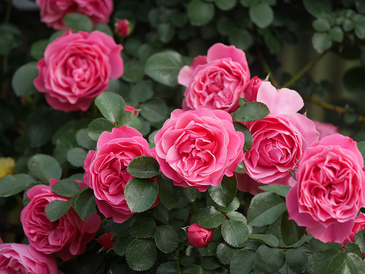 レオナルド・ダ・ヴィンチ(Leonard da Vinci)の花がたくさん咲いた。半ツルバラ。2021年-120.jpg