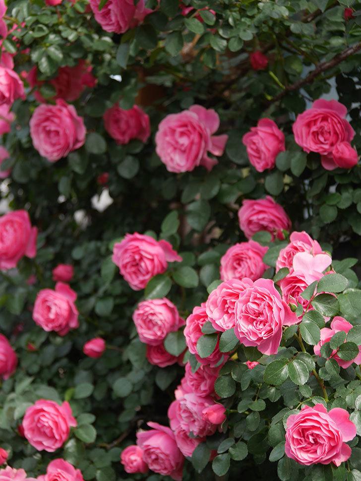 レオナルド・ダ・ヴィンチ(Leonard da Vinci)の花がたくさん咲いた。半ツルバラ。2021年-123.jpg