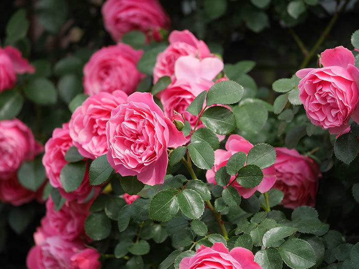 レオナルド・ダ・ヴィンチ(Leonard da Vinci)の花がたくさん咲いた。半ツルバラ。2021年-124.jpg