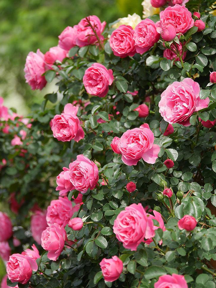 レオナルド・ダ・ヴィンチ(Leonard da Vinci)の花がたくさん咲いた。半ツルバラ。2021年-126.jpg