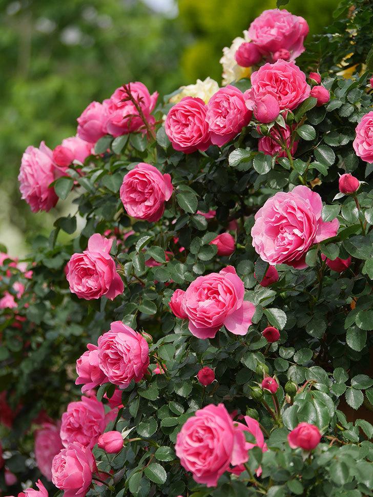 レオナルド・ダ・ヴィンチ(Leonard da Vinci)の花がたくさん咲いた。半ツルバラ。2021年-127.jpg