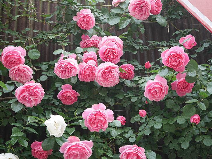 レオナルド・ダ・ヴィンチ(Leonard da Vinci)の花がたくさん咲いた。半ツルバラ。2021年-129.jpg